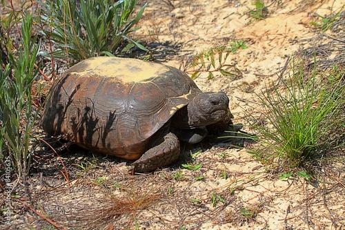 Gopher Tortoise (Gopherus polyphemus) Poster