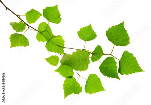 Fototapeta Fresh Green Leaves isolated.