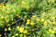 Blooming tree twigs with yellow flowers in spring