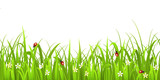 Fototapety Grass with ladybird isolated on white background