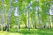Obrazy na płótnie, fototapety, zdjęcia, fotoobrazy drukowane : birch forest