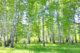 birch forest © rufar