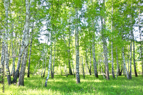 Obraz na Szkle birch forest