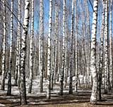 Birch trees on blue sky