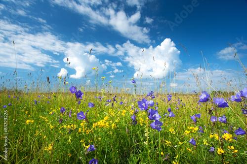 Fototapeta Bluebells on the field