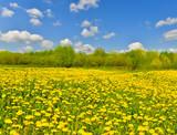 Fototapeta Spring meadow full of dandelions