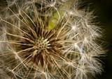 Fototapeta flowering dandelion