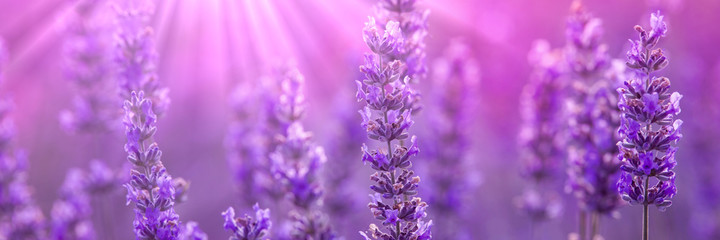 Lavender © Phils Photography