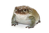 Sonoran Desert Toad Isolated on White poster