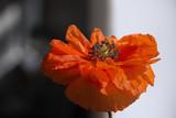 Poppy blossom - 84240226