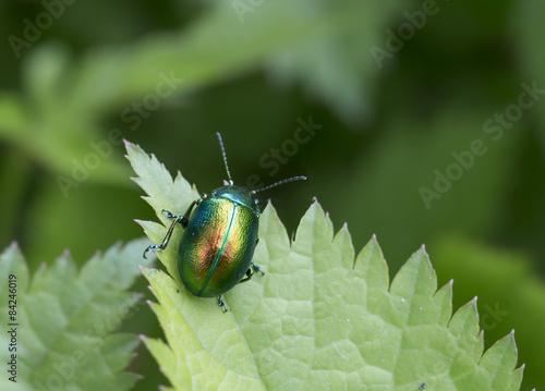 Насекомое жук-листоед