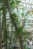 Didierea Madagascariensis poster