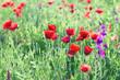 Wild red poppy flowers