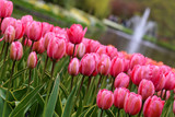 lit de tulipes et muscari
