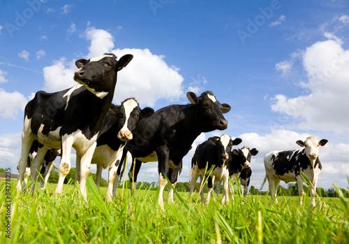 Krowy Holstein