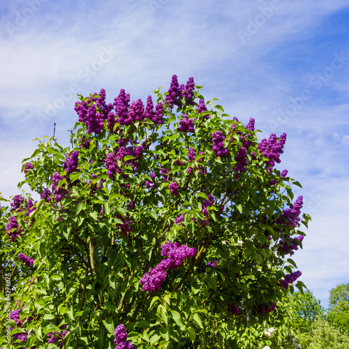 Foto op Canvas Lilac beautiful lilac flowers. beauty bloom lilacs in the spring gard