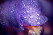 wet iris leafs with water drops