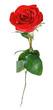 Obrazy na płótnie, fototapety, zdjęcia, fotoobrazy drukowane : one red rose flower isolated on white