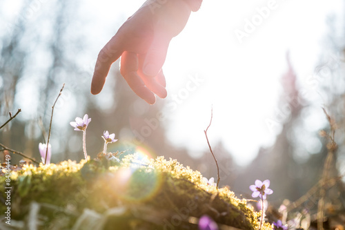 Poster Hand of a man above a blue flower back lit by the sun