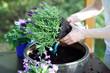 Lawenda, kobieta sadzi roślinę w donicy
