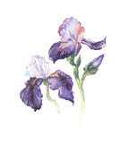 the iris flowers watercolor isolated on the white background.