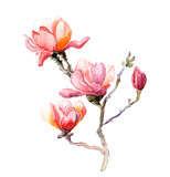 the magnolia watercolor isolated on the white background