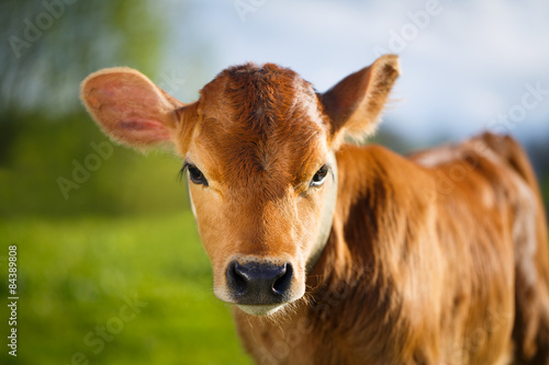 young cow Poster