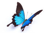 Blue and colorful butterfly on white background - 84396455