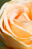 Fototapeta Candlelight rose