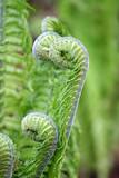 Paproć - liście paproci