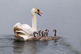 Swan mother with its chicks. Alerting about the danger of birdwatcher in the bush. poster