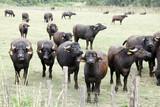 Bufale da latte per mozzarella