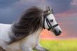 Grey pony with long mane portrait against sunset sky
