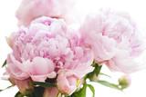 Fototapety beautiful pink peony flowers, on white background