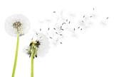 Fototapeta Dandelion, Dandelion Green, Blowing.