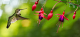 Fototapeta Hummingbird feeding on Hardy Fuchsia Flowers