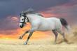 Grey horse run gallop against sunset sky in desert