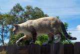 tomcat walking on fence poster
