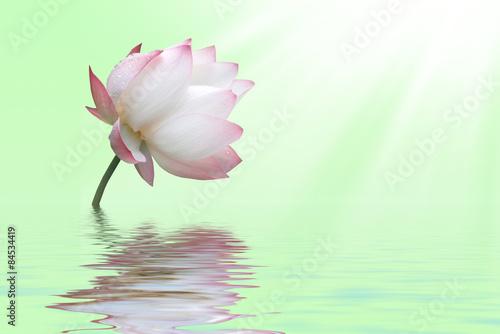 Water lily © nebo13