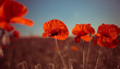 red poppies at summer meadow