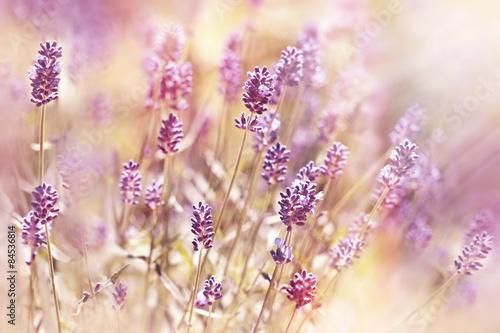 Beautiful, beatiful lavender flower