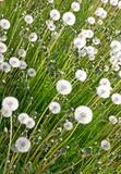 Fototapeta Closeup of white dandelions in the spring meadow