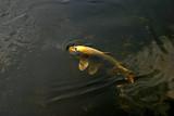 Fototapeta Do akwarium - Złota rybka pod wodą © agatop