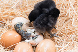 Helpless little chick still wet after hatching poster