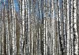 Spring birches on blue sky