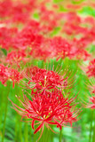 Fotoroleta Cluster amaryllis flowers