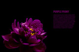 Fototapety purple peony isolated