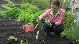 Woman gardener are planted seedlings of cabbage