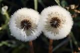 Fototapeta Two dandelions and dewdrops