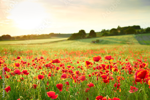 Keuken foto achterwand Klaprozen Close up poppy field